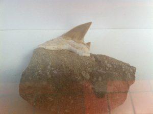 Haifischzahn, Kreidezeit (70 Mio. Jahre), Marokko